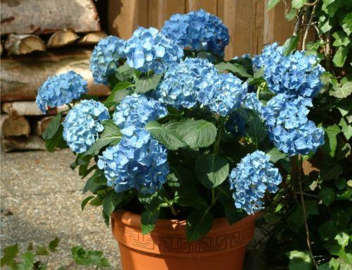 Blankytně modré hortenzie